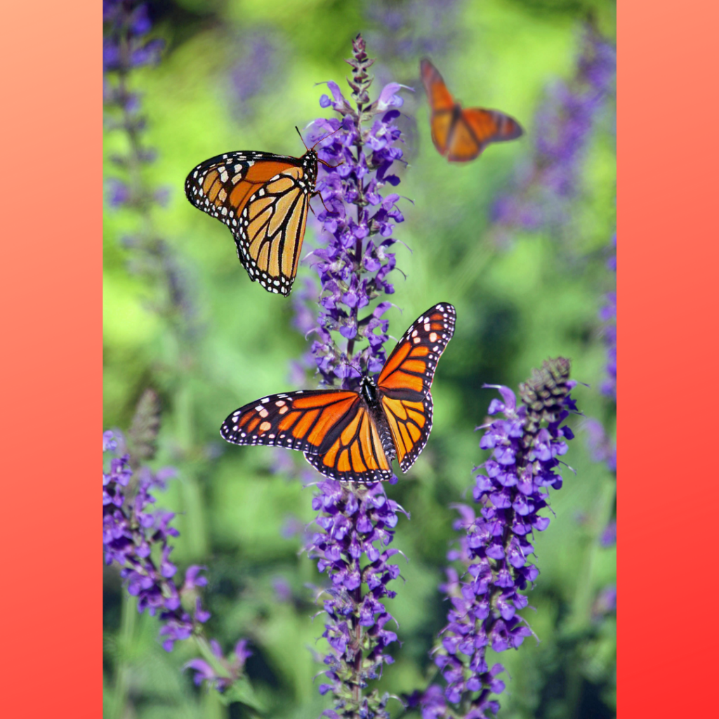 2 Monarch butterflies on flower spikes. One in flight.